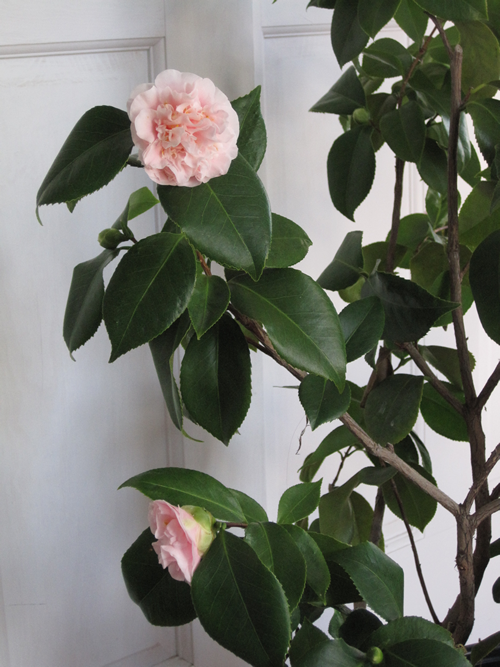 Camellias grow well in moist mild winter areas like the Southeast, California and the Pacific Northwest. Here in Zone 5, I overwinter potted Camellias in a cold room in my house