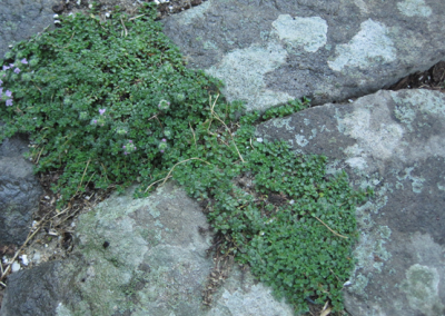 path-with-thyme